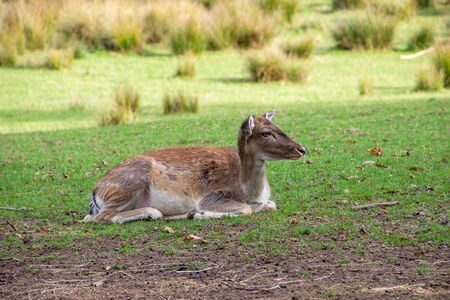 View of a reclining doe, latin Cervidae