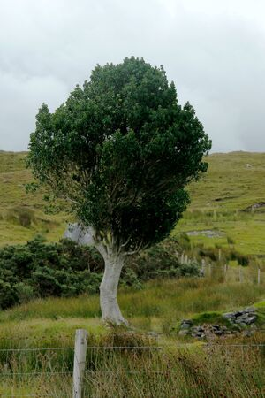 solitary tree with white stem on a meadow in Ireland