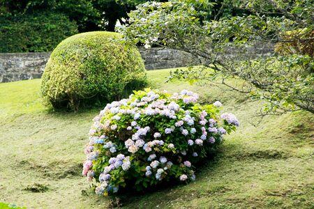 View of a hydrangea bush, in Latin Hydrangea, from the hydrangea family, Hydrangeaceae 스톡 콘텐츠