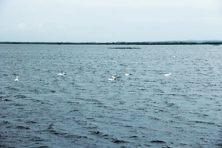 View of several swans in the North Sea, Germany