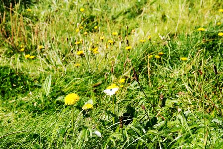 View of a meadow with a butterfly, whiting, on a dandelion