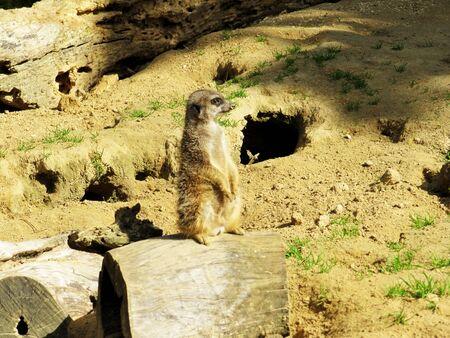 A meerkat, Suricata suricatta, also called Surikate or obsolete scratching animal 写真素材
