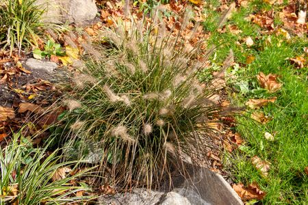 Fountain grass, Cenchrus, is a widespread genus of flowering plants in the grass family Stock fotó