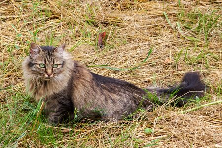 German longhair cat sits in a meadow and observes the environment with her big green eyes Stock Photo