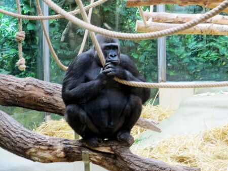 View of a western lowland gorilla from the primates family of the great apes, Hominidae 스톡 콘텐츠