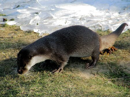 An otter, latin lutra, ashore in front of a frozen pond with ice sheets