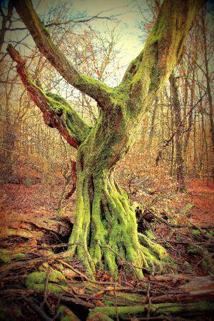 Dead, upright rotting oak in the Sababurg primeval forest, Lomography Standard-Bild