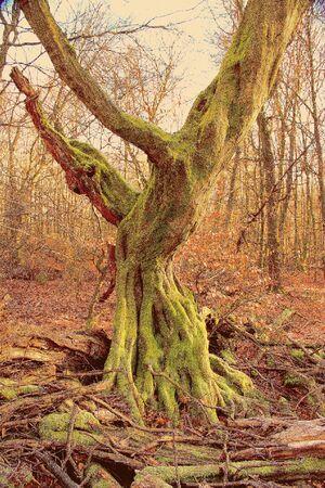 Dead, upright rotting oak in the Sababurg primeval forest, Retro picture