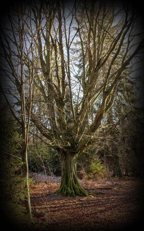 Old oak with widely spreading branches in the nature reserve Urwald Sababurg near Kassel, vignetting photo