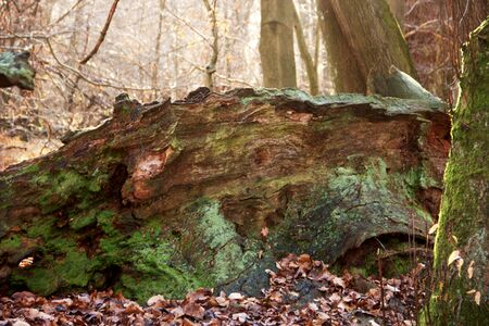dead, petrified large oak covered with moss in the Sababurg primeval forest