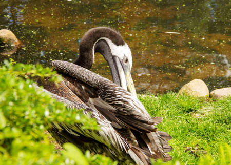 The brown pelican, Pelecanus occidentalis, is a bird of the pelican family, Pelecanidae