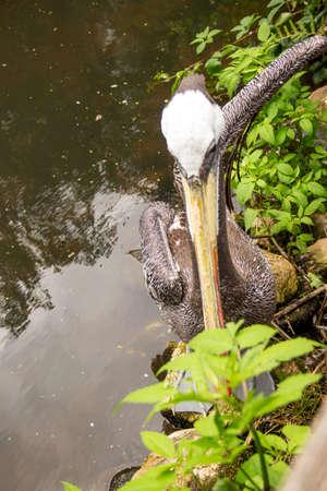 Top view of a brown pelican, Pelecanus occidentalis, is a bird in the pelican family, Pelecanidae
