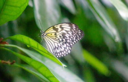Side view of a paper kite butterfly, also called rice paper butterfly or large tree nymph, latin Idea leuconoe