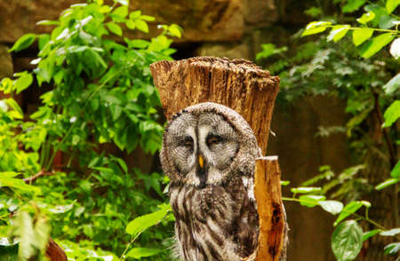 Front view from the great gray owl or great gray owl. A very large owl, Strix nebulosa