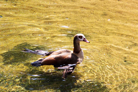 Side view of a swimming Egyptian goose, Latin alopochen aegyptiaca