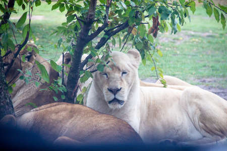 View from several white lioness lying around a tree