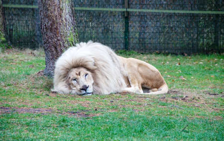 View of a sleeping white lion on a tree Banco de Imagens