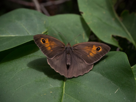 Meadow brown butterfly Imagens