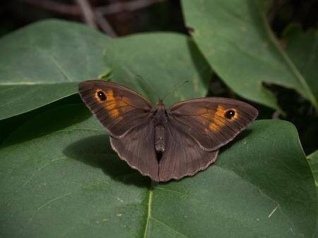 Meadow brown butterfly 免版税图像