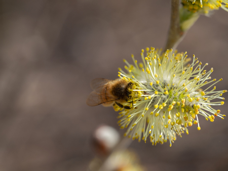 Honey bee on catkin Reklamní fotografie