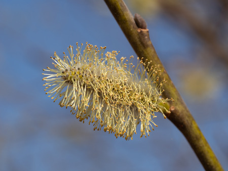 Willow tree with catkin Banque d'images