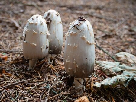 Shaggy mane on the forest floor of a coniferous forest