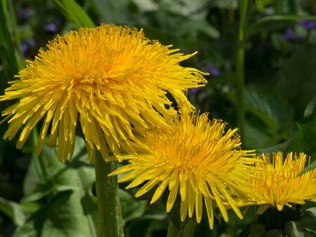 Common dandelion yellow in meadow