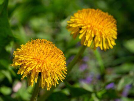 Common dandelion yellow close up Stock Photo