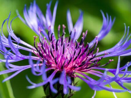 Close up of a Mountain cornflower purple