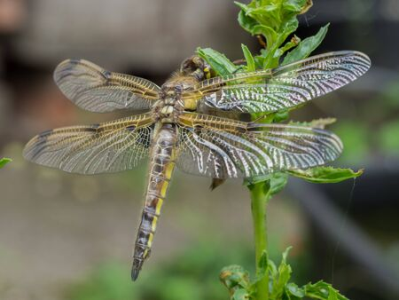 Dragonfly newly hatched on a plant  stem