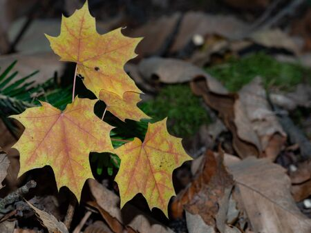 Autumnal maple leaves on the forest floor
