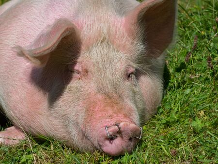 Portrait of a pig on mountain pasture