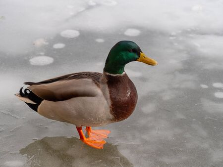 Male mallard duck  on a frozen lake Фото со стока