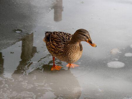Female mallard duck on a frozen lake
