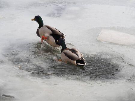 Male mallard ducks in frozen lake
