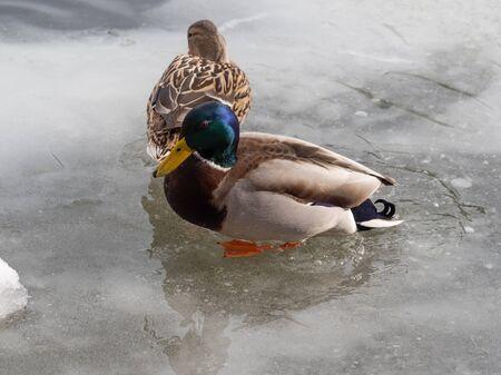 Mallard ducks couple in winter at the lake Фото со стока