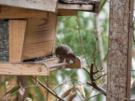 House mouse steals birdseed in a birdhouse