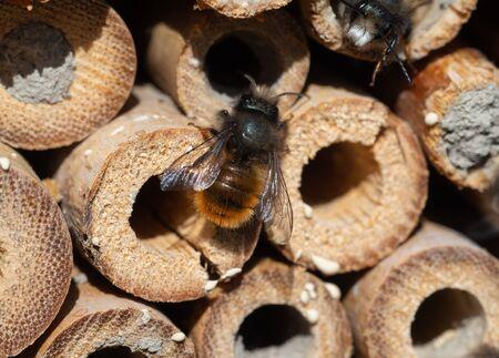 Mason bees at an insect hotel Фото со стока