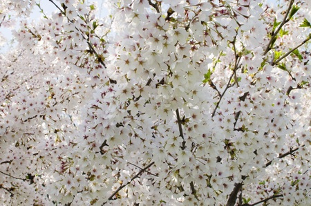 suave: Spring blooming white  flowers background Stock Photo