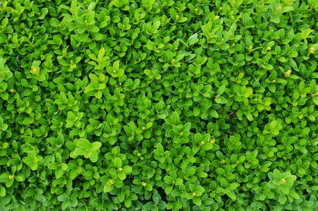 similarity: Evergreen shrub background
