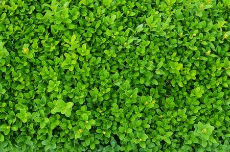 shrub: Evergreen shrub background