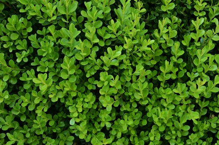 uniformity: Green background with evergreen shrub Stock Photo