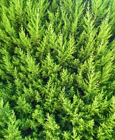 Thuja green pattern background detail