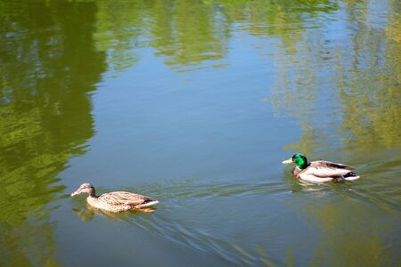 Two bird Mallard ducks swims in lake or river the city park. Spring or summer day.