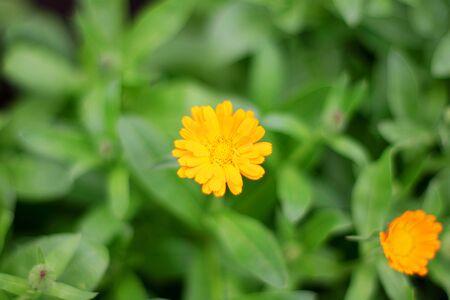 Yellow flower Calendula in the green garden.