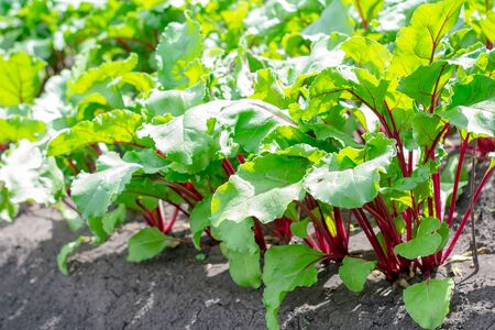 A row of green young beet leaves growing in an organic farm.