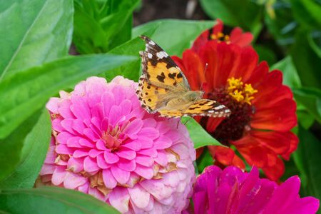 A butterfly sits on a pink flower close-up. Background with a beautiful butterfly on a flower.