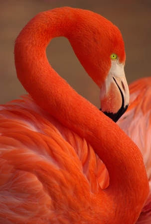 greater: Vertical portrait of a greater flamingo