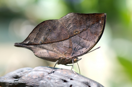 Close-up on kallimia butterfly