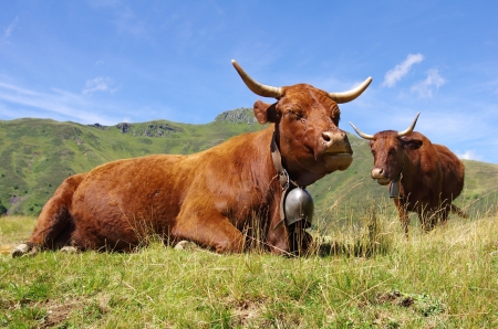 French Salers cows Stock Photo